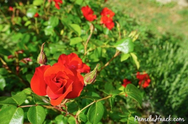 roses.011