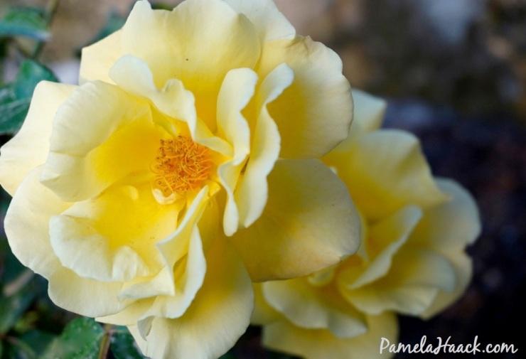 roses.013