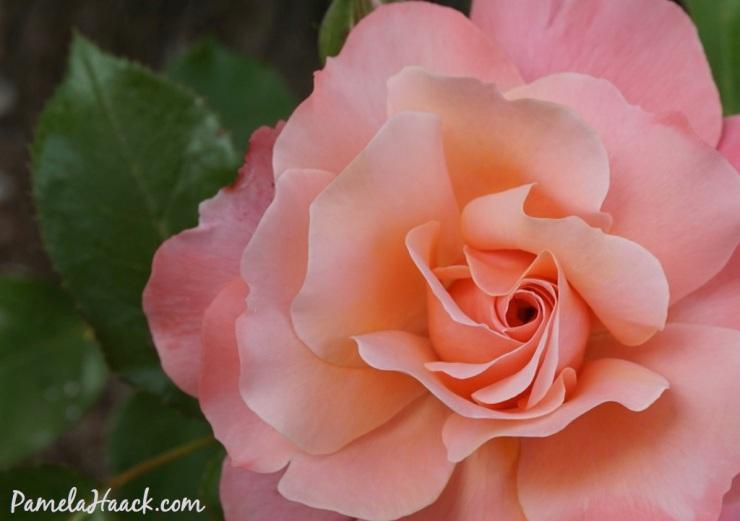 roses.014