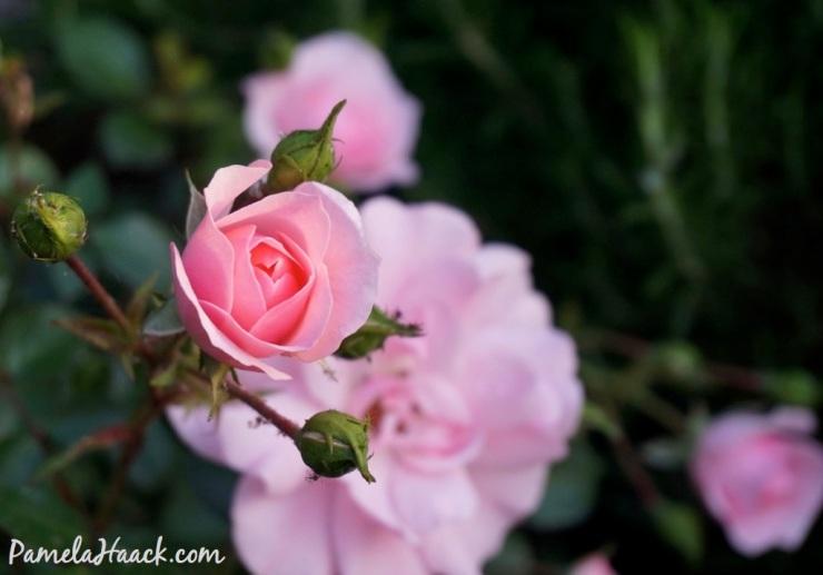 roses.016
