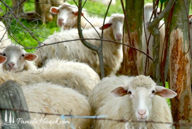 pecore.004
